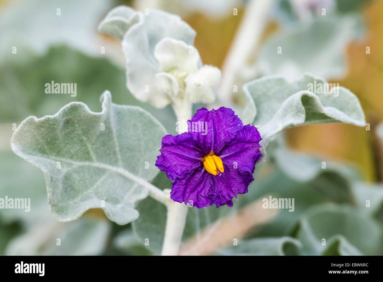 Flannel Bush Solanum Lasiophyllum Flower Australia