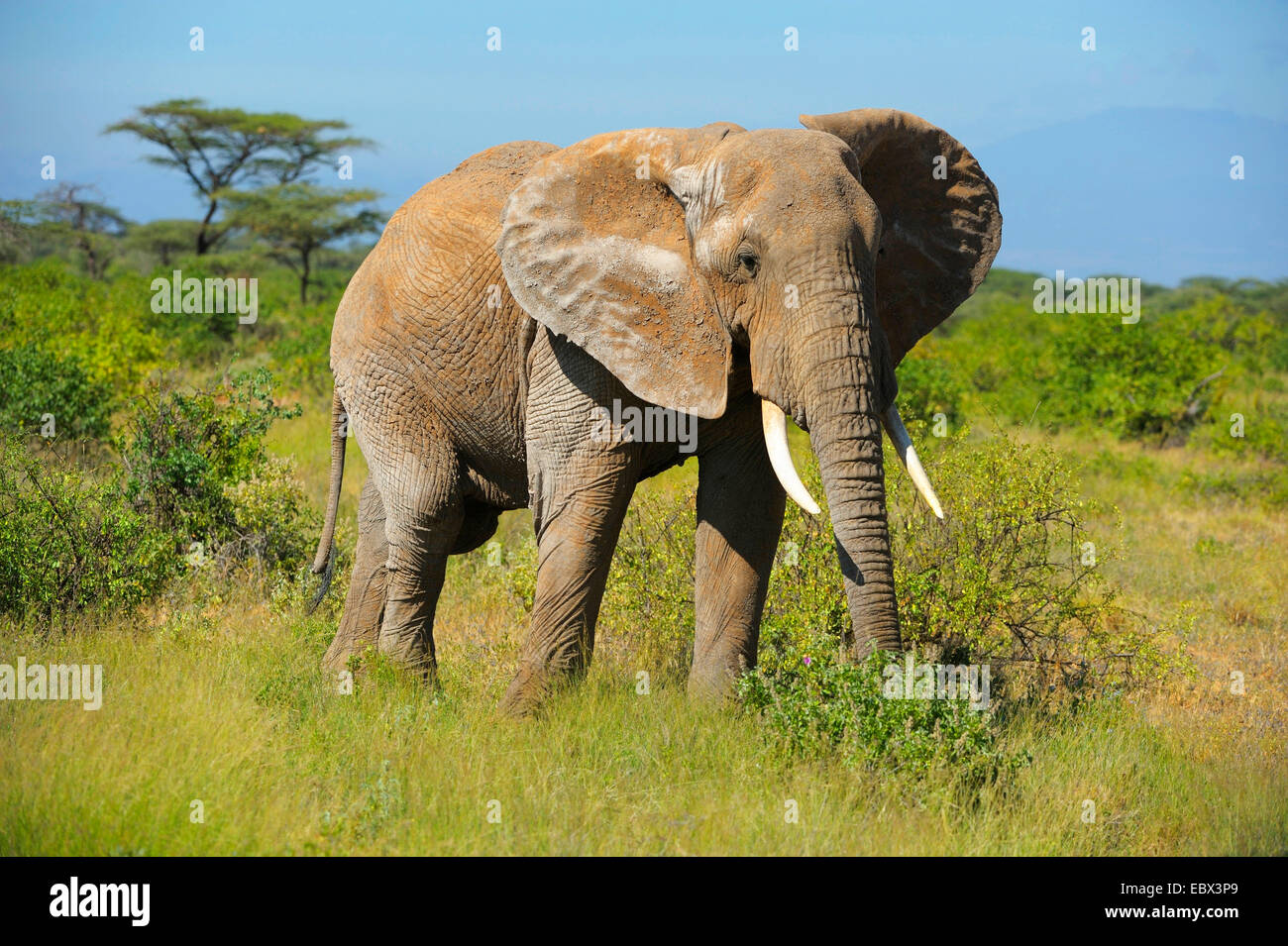 African elephant (Loxodonta africana), male in its habitat ...
