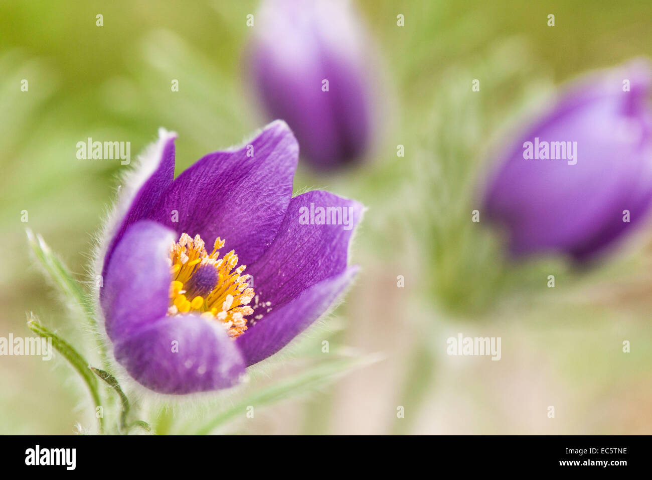 pasque flower Stock Royalty Free Image Alamy