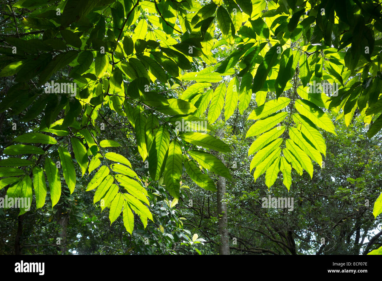Tropical jungle canopy leaves silhouetted by the sun & Tropical jungle canopy leaves silhouetted by the sun Stock Photo ...