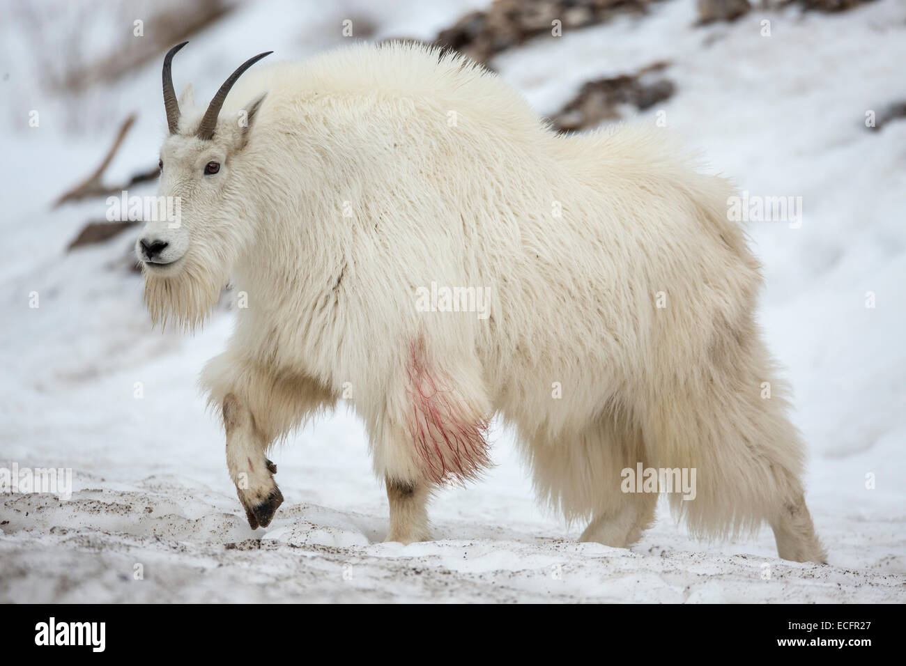 Mountain Goat In Winter Coats Wyoming