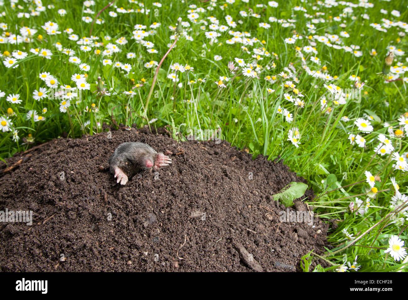 european mole common mole mole molehill maulwurf maulwurfsh gel stock photo royalty free. Black Bedroom Furniture Sets. Home Design Ideas