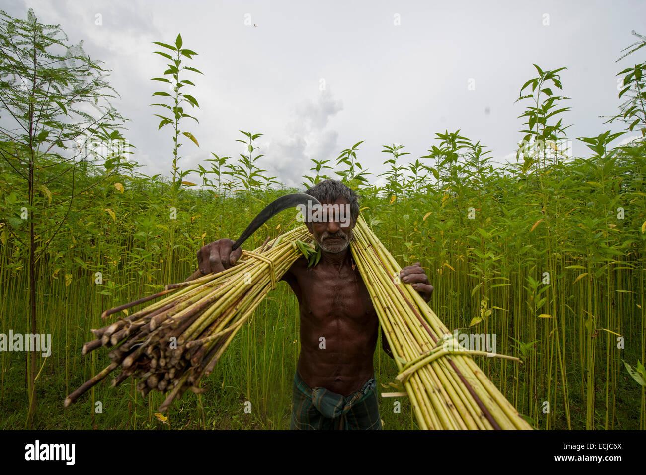Farmer Processing Jute From Jute Plants Jute In