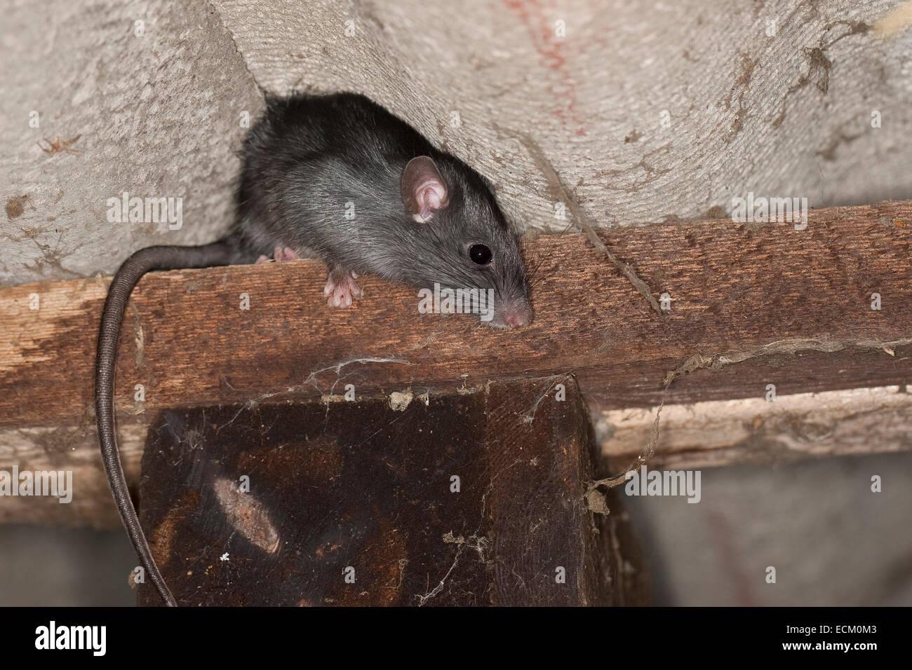 Black Rat, Roof Rat, House Rat, Ship Rat, Rats, Hausratte, Haus Ratte,  Ratte, Ratten, Rattus Rattus, Rat Noir, Rat Des Greniers