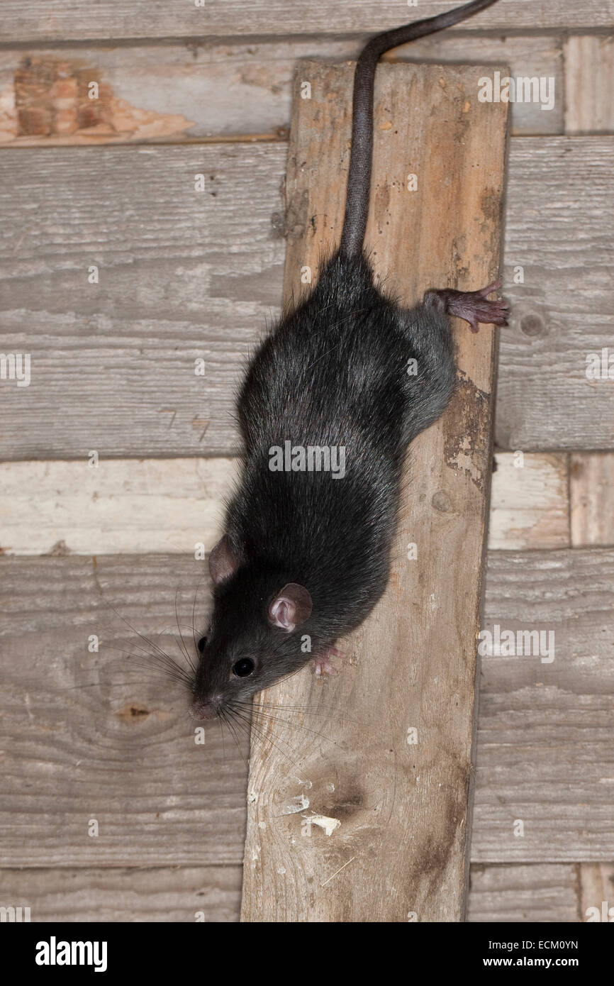 Black Rat Roof Rat House Rat Ship Rat Rats Hausratte