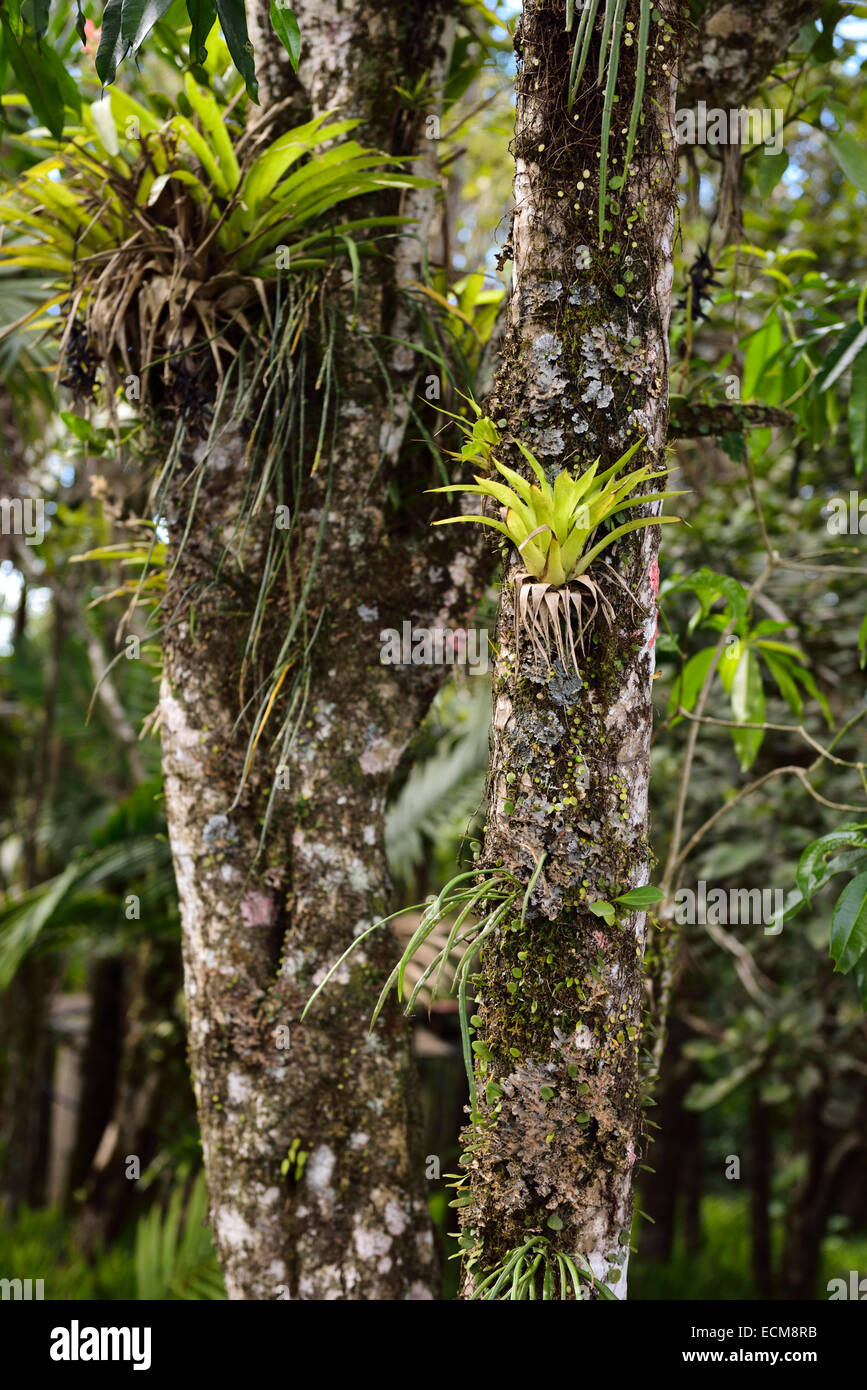 Bromeliad tropical plants growing on a tree trunk in isabel de torres stock photo royalty free - Flowers that grow on tree trunks ...