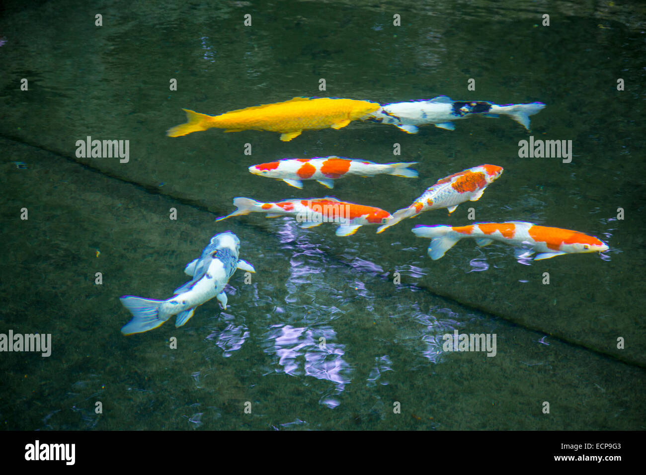 Koi carp cyprinus carpio in a pond aquarium fish stock for Koi fish aquarium