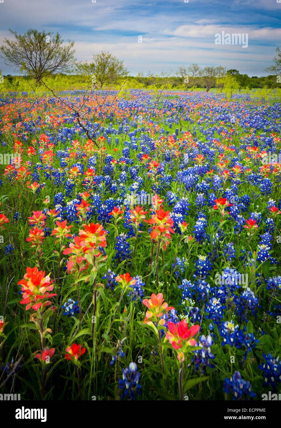 Berühmt Texas Bluebonnet Ausmalbilder Bilder - Malvorlagen-Ideen ...
