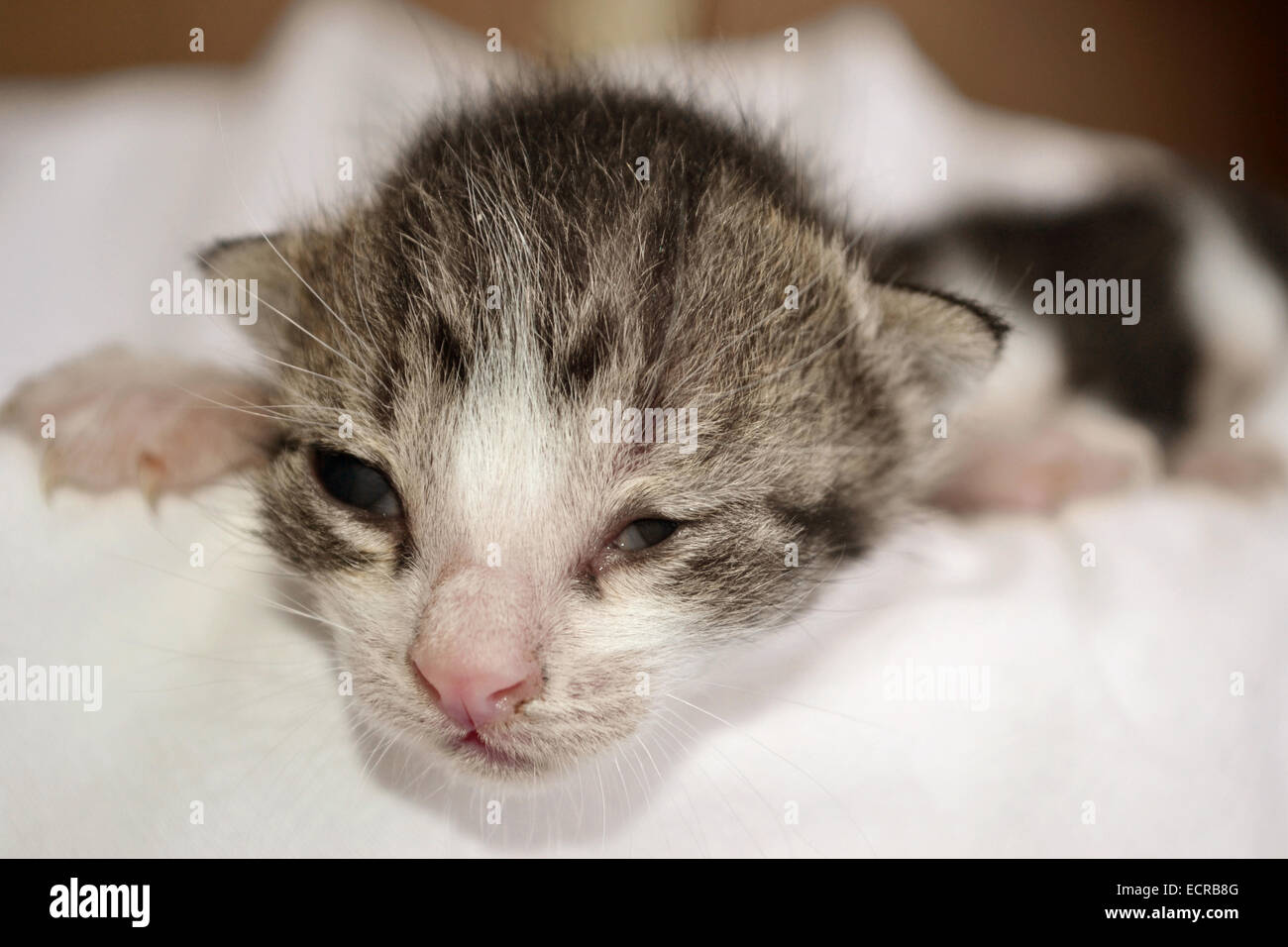 Newly born adorable kitten laying on bed Stock Royalty Free