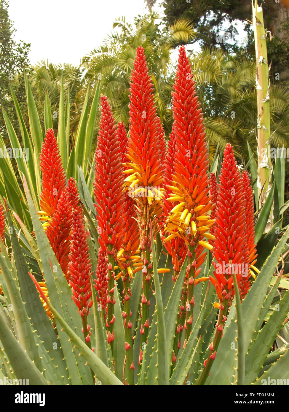 Large cluster of spectacular tall flame red orange for Plant with tall spikes of yellow flowers