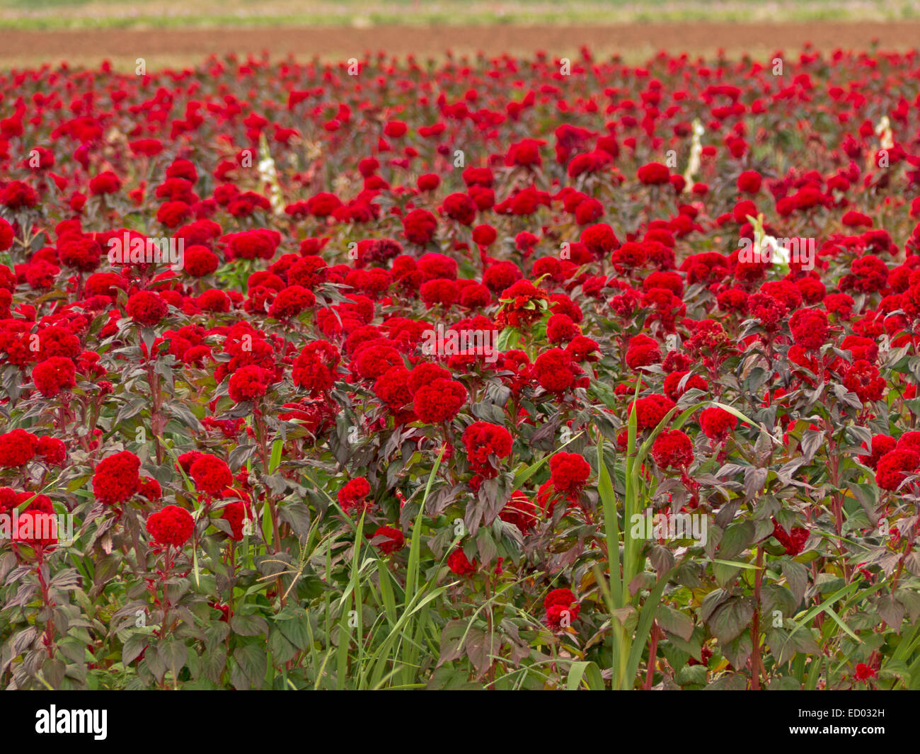 bright red flowers field - photo #11