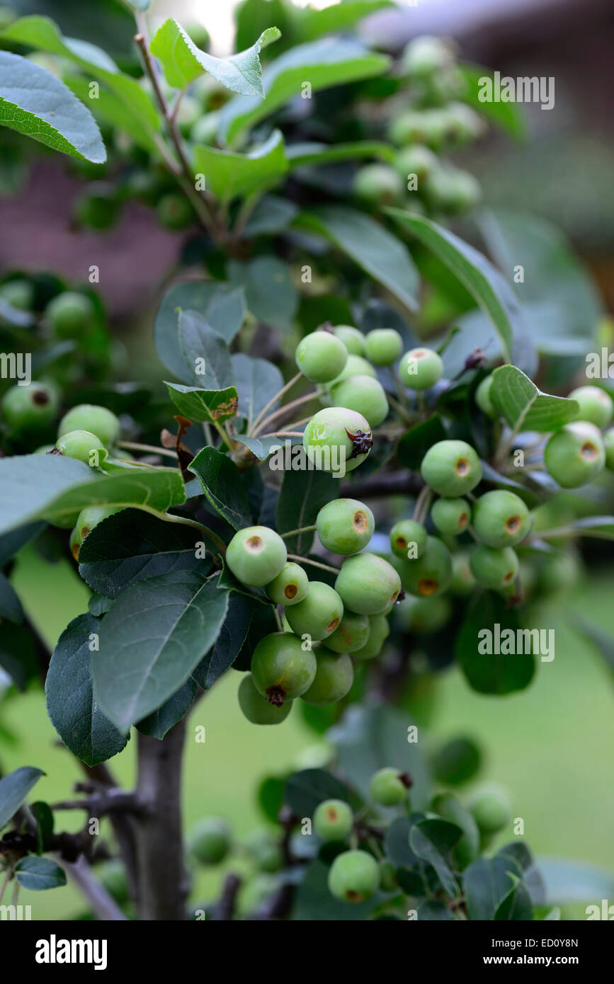 Malus Red Sentinel christmas berry tree summer ripening fruit ...