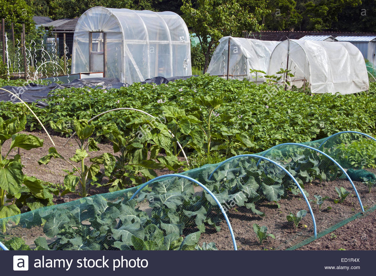 Plastic Greenhouse And Tunnels And Vegetables Growing In Kitchen Garden /  Vegetable Garden / Potager