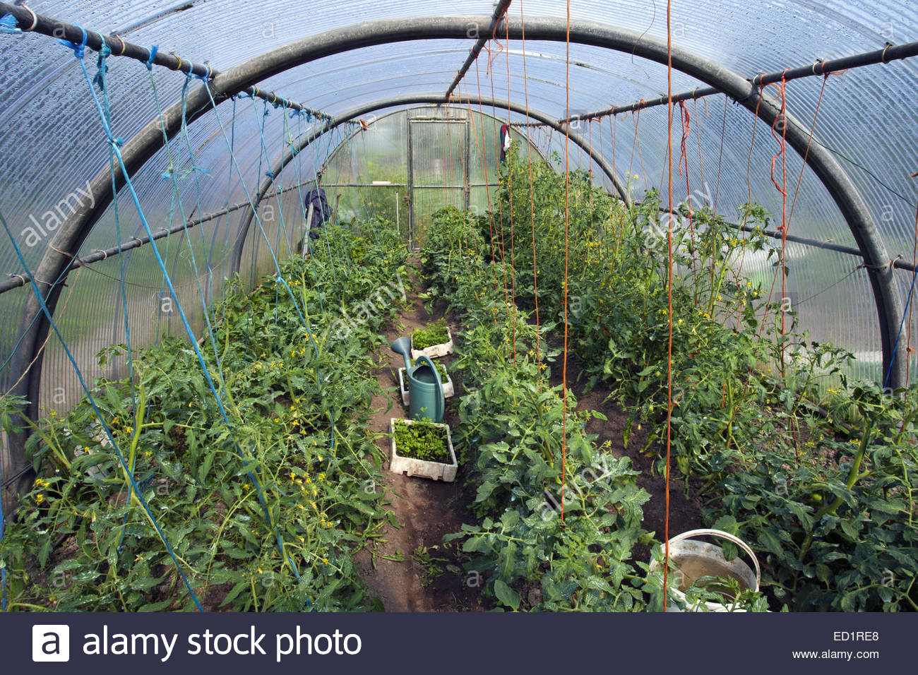 Kitchen Vegetable Garden Tomato Plants Solanum Lycopersicum Growing In Plastic Tunnel