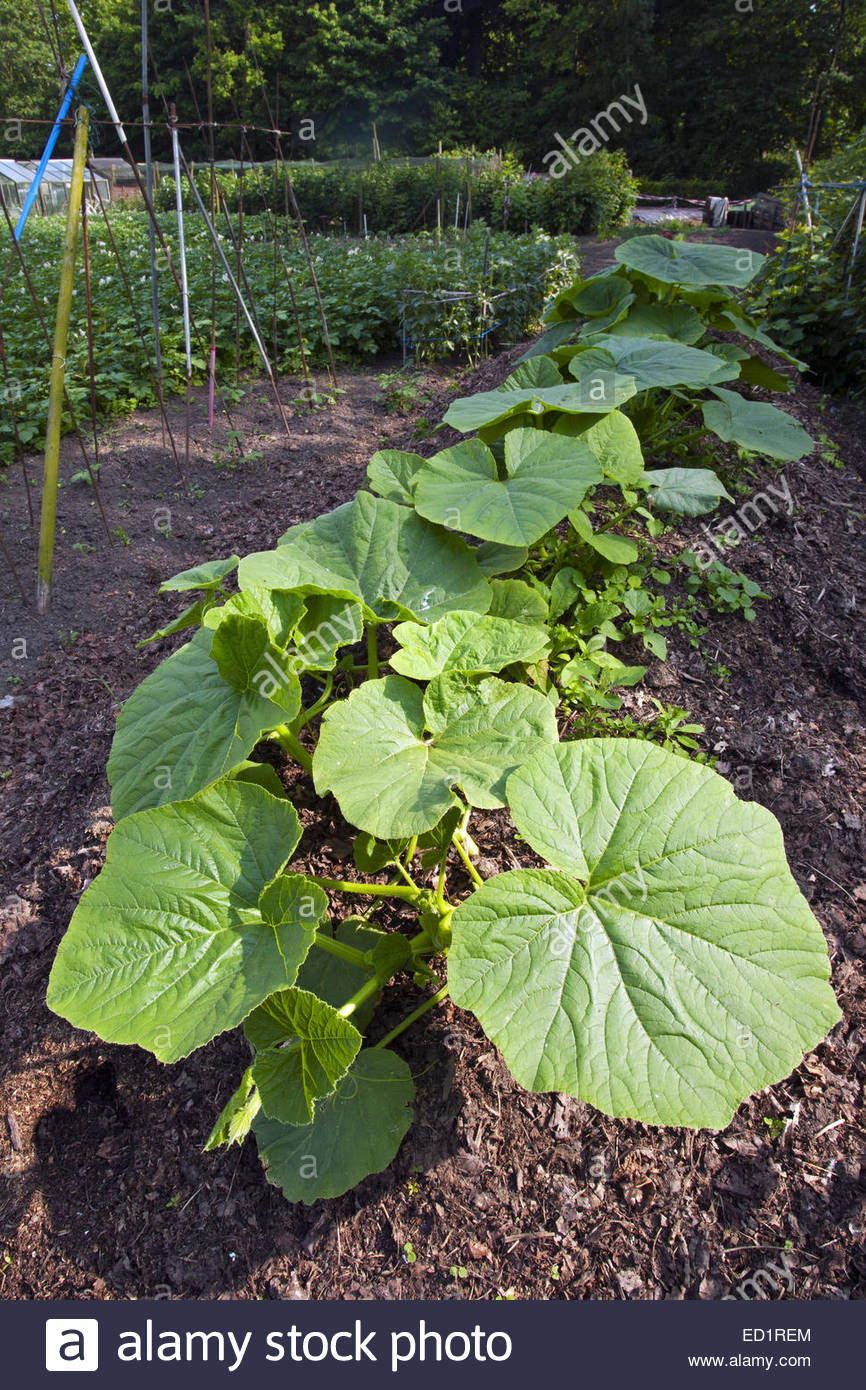 Kitchen Garden Plants Pumpkins Squash Plants Cucurbita Pepo Growing In Kitchen
