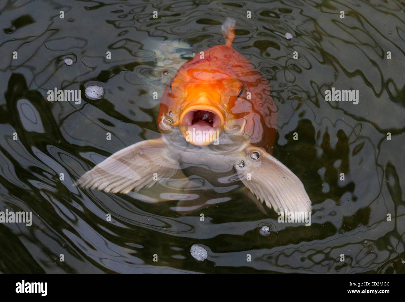 Orange and white japanese koi carp coming up to the water for Orange coy fish