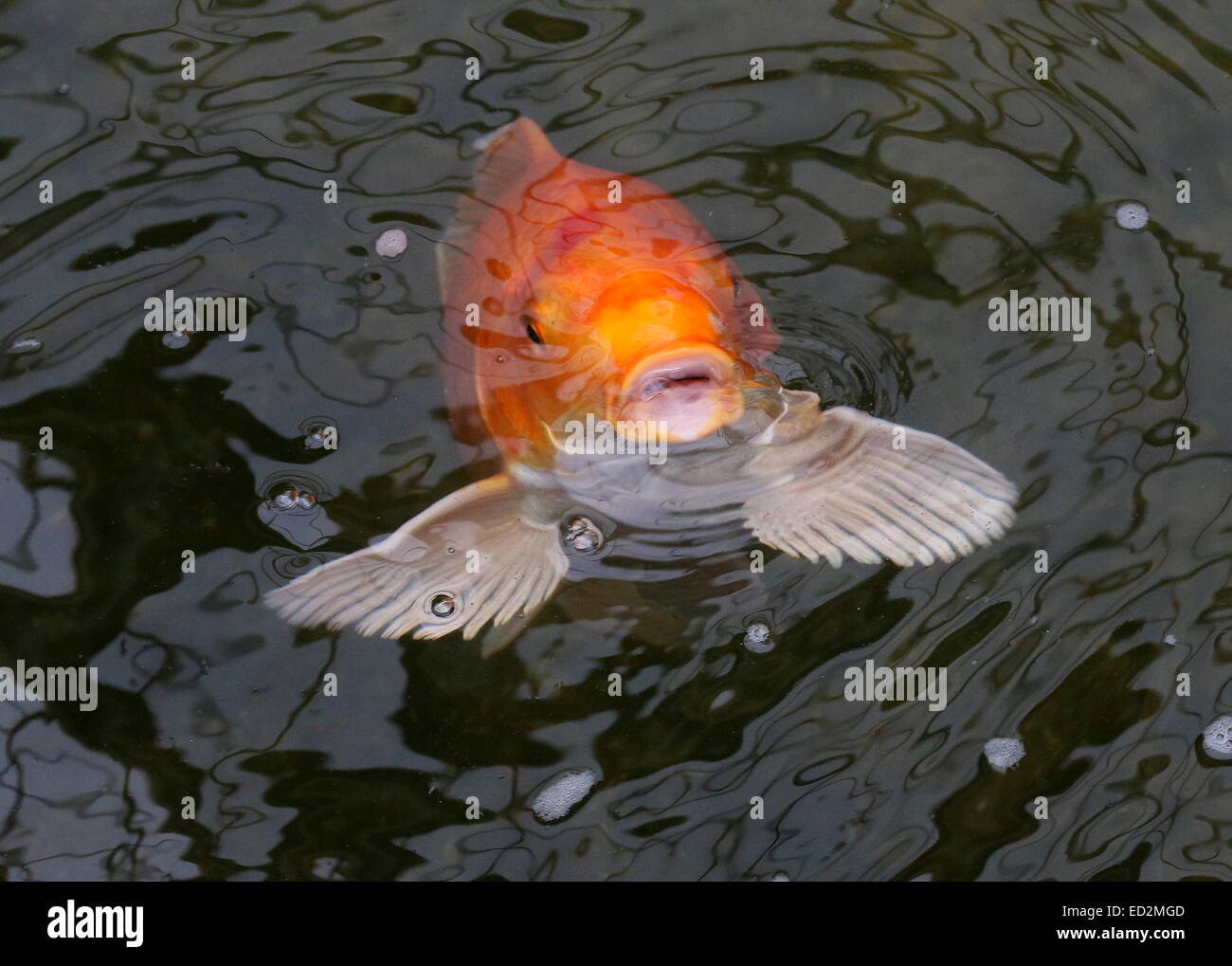Orange and white japanese koi carp coming up to the water for Orange koi carp