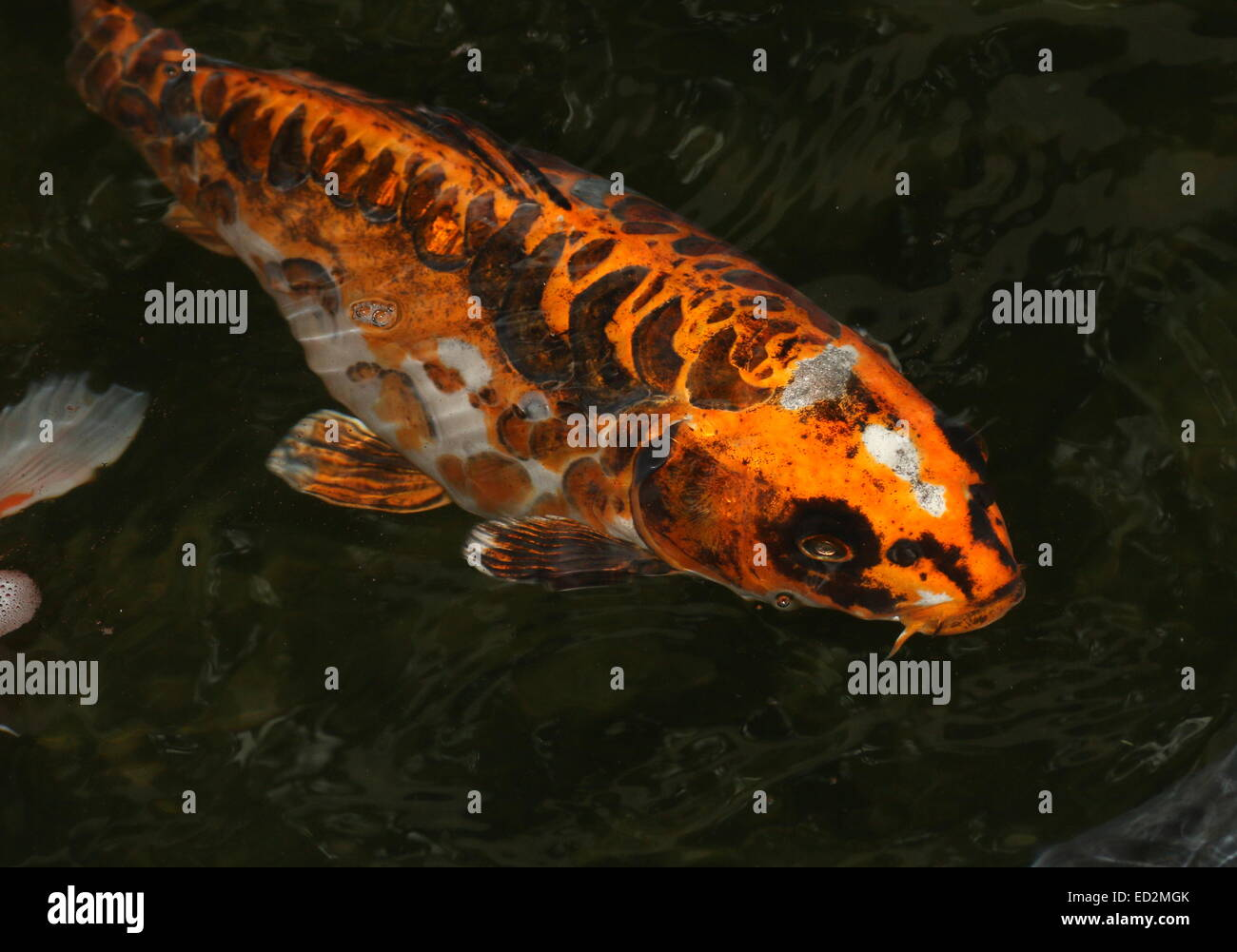 Orange black and white japanese koi carp coming up to the for All black koi fish
