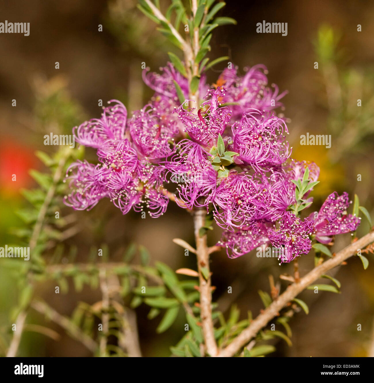 Cluster of vivid purple flowers and small green leaves of cluster of vivid purple flowers and small green leaves of melaleuca thymifolia australian native shrub dhlflorist Choice Image