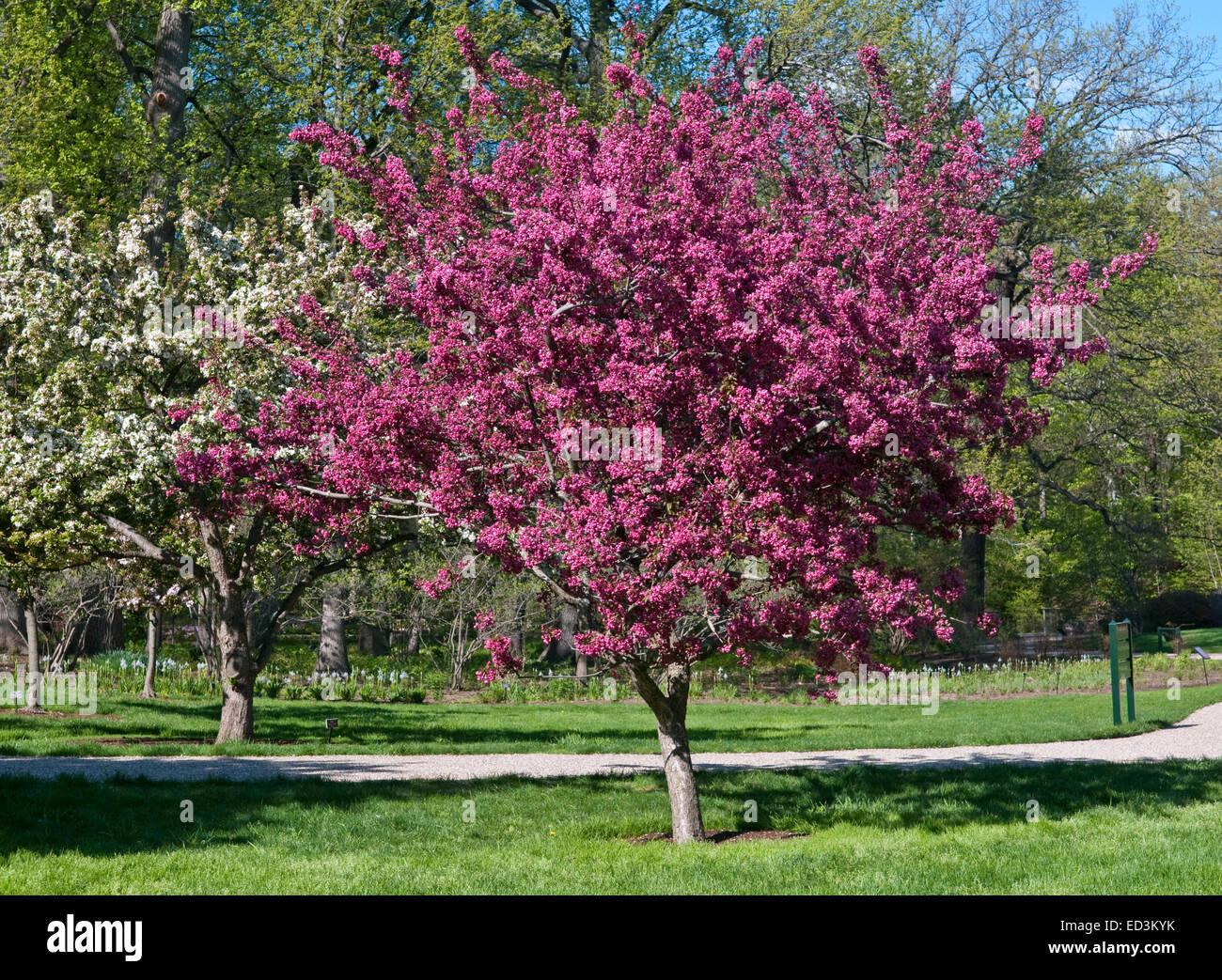 "Flowering Crabapple Tree Malus ""Barbara Ann Stock Royalty Free"