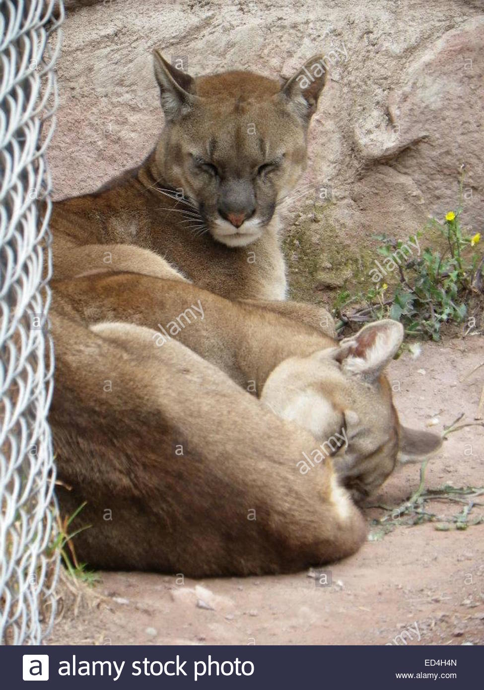 Mountain living near cusco peru royalty free stock photo - Puma Puma Concolor At An Animal Sanctuary Near Cusco Peru