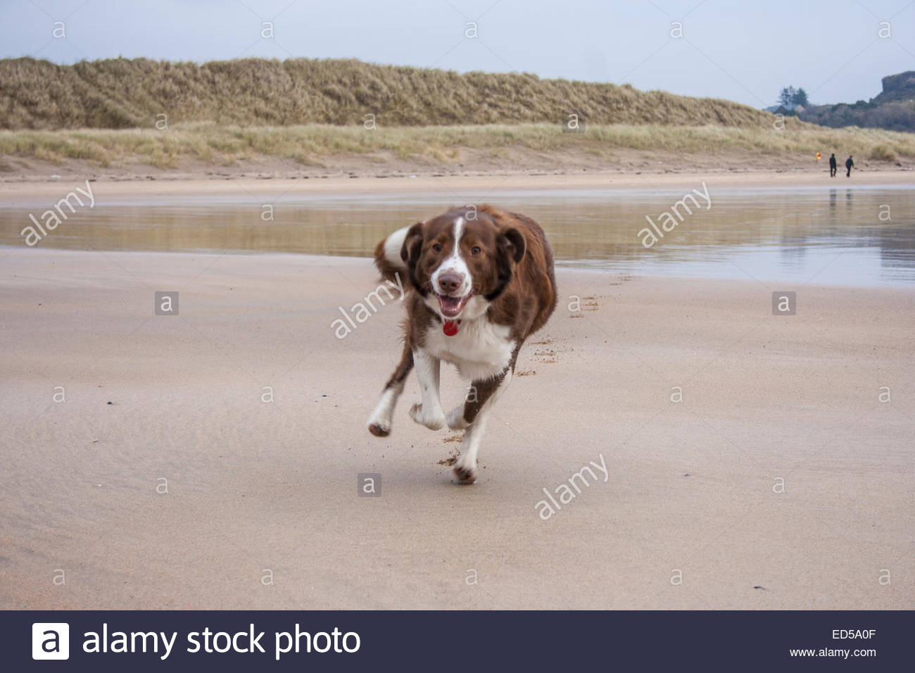 Excited Dog Running To...