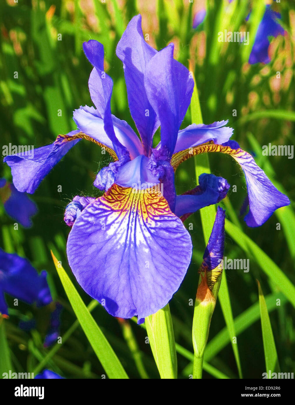 one flower of blue iris on full screen vertical view. Black Bedroom Furniture Sets. Home Design Ideas