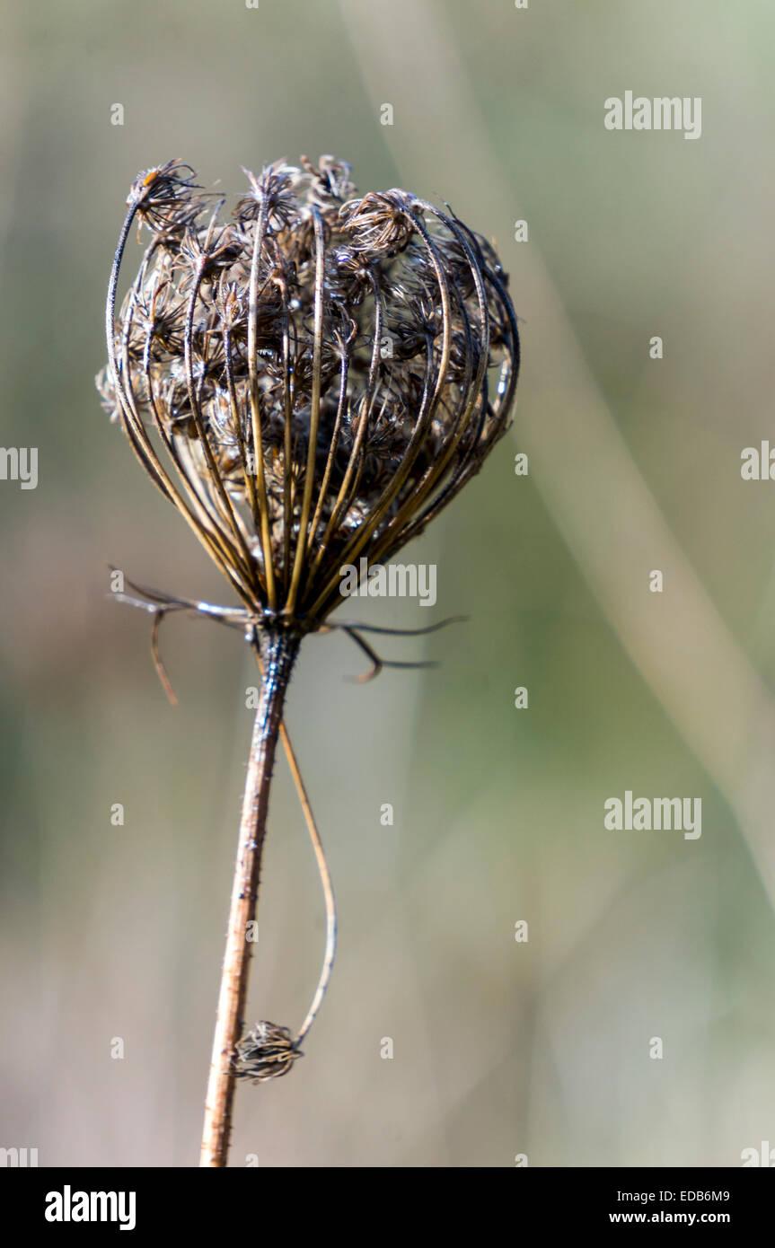 queen-annes-lace-daucus-carota-dried-dea