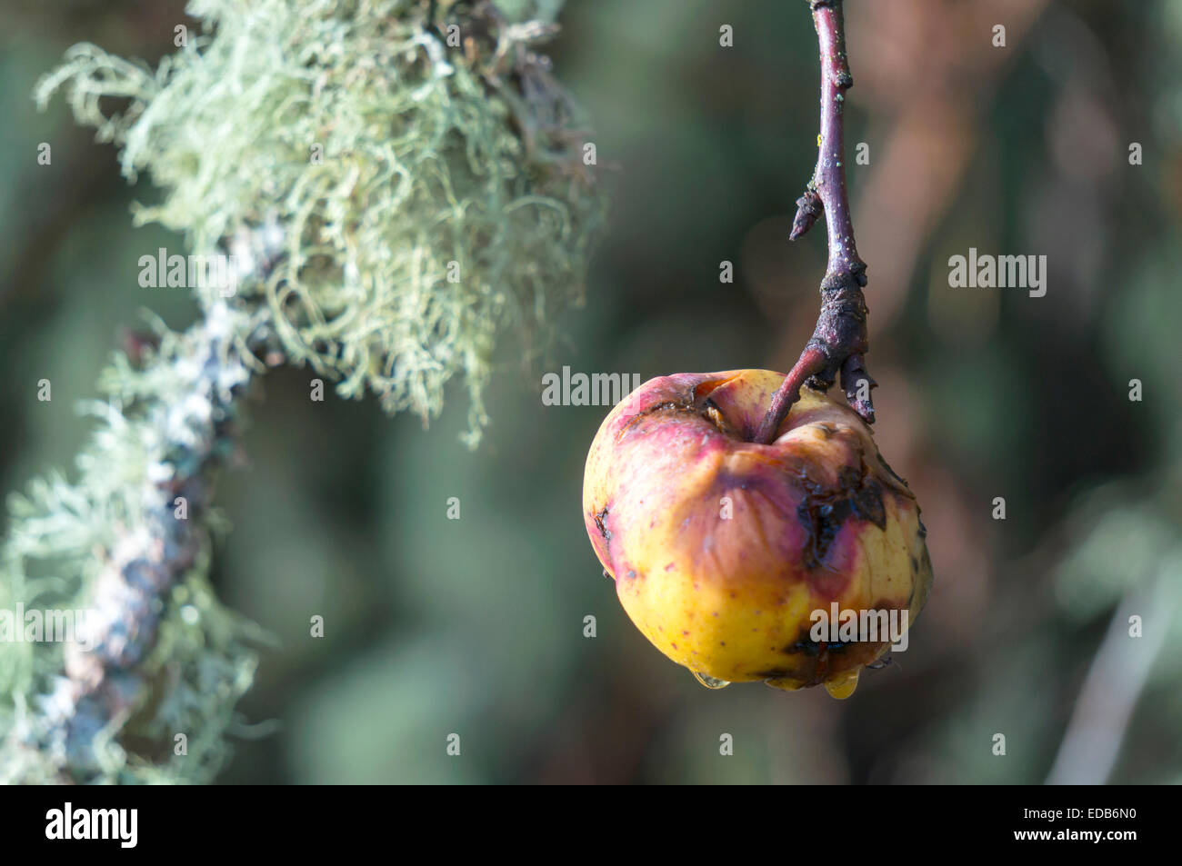 yellow-heirloom-apples-rotting-on-the-tr
