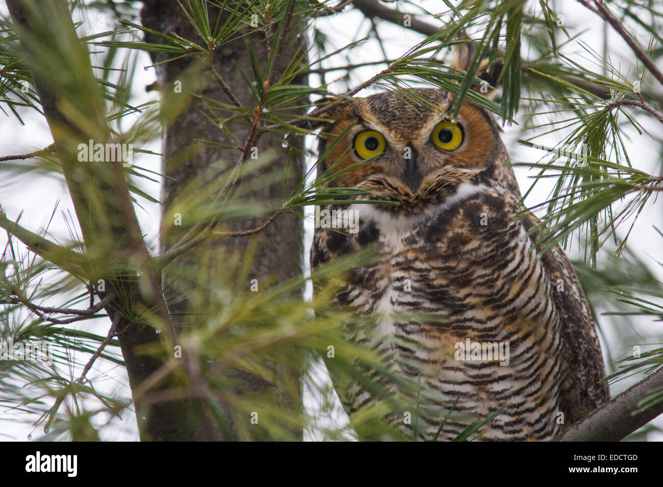 great horned owl in a pine tree stock photo  royalty free wind vectors map wing vector designs