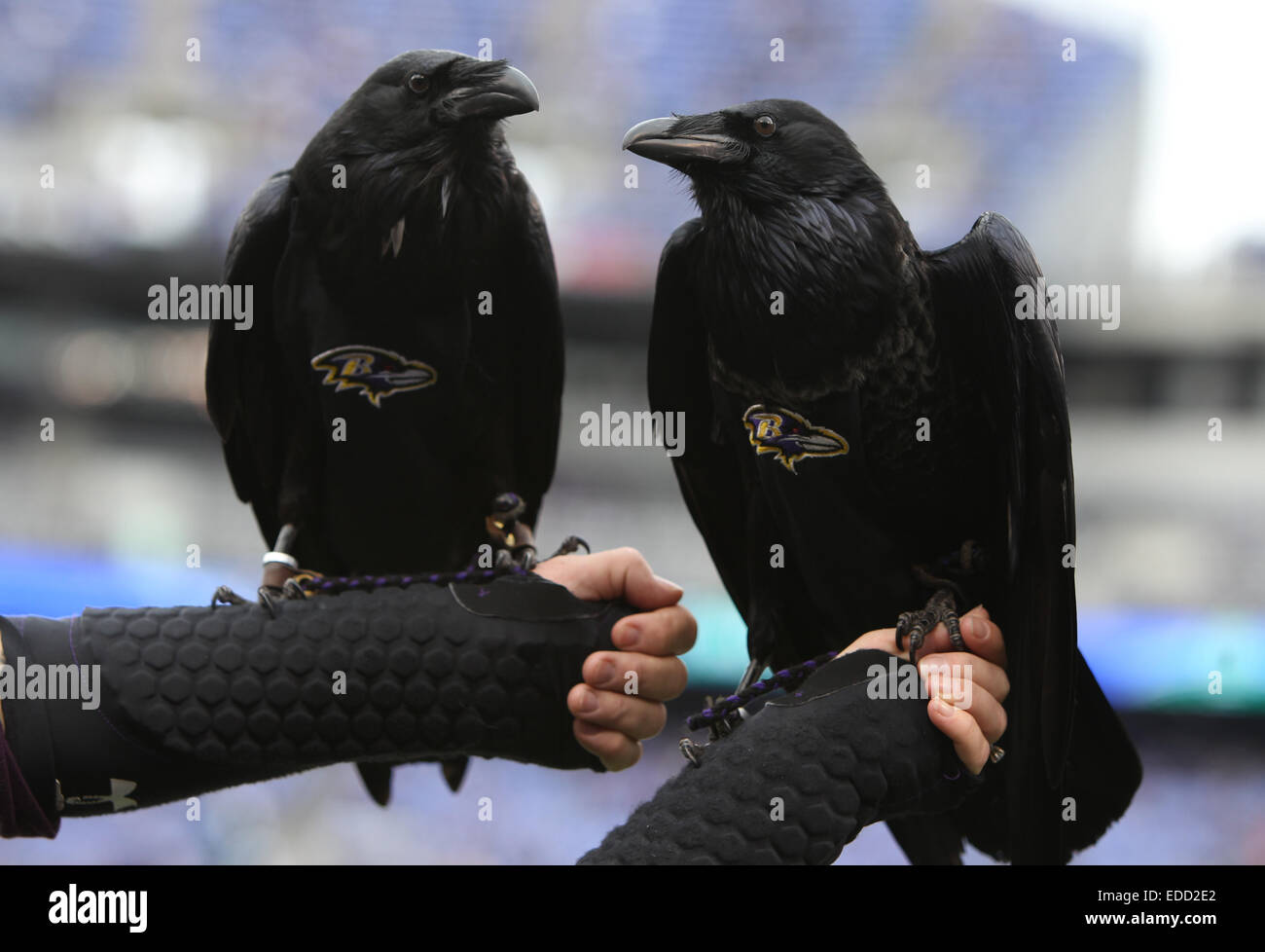 What is the baltimore ravens mascot name - Baltimore Maryland Usa 28th Dec 2014 Baltimore Ravens Mascots Rise