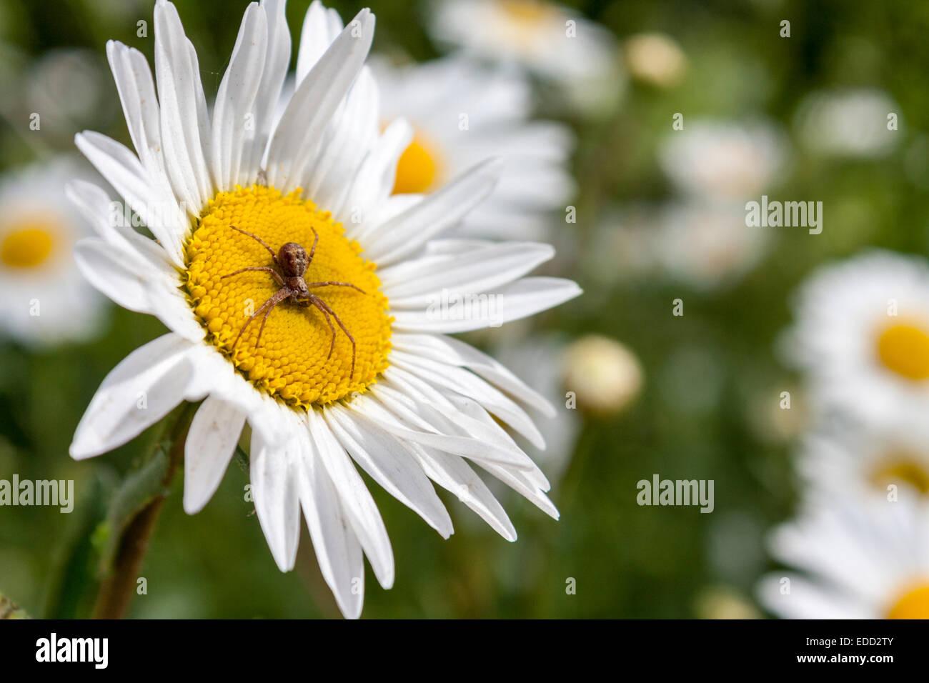 european-garden-spider-araneus-diadematu