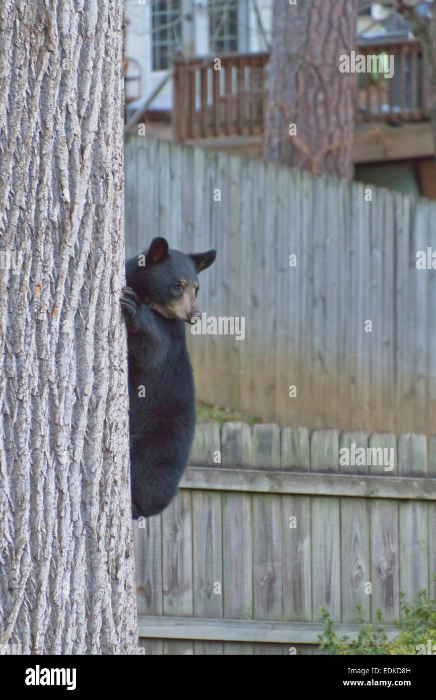 a young black bear halfway up a backyard tree in an urban stock
