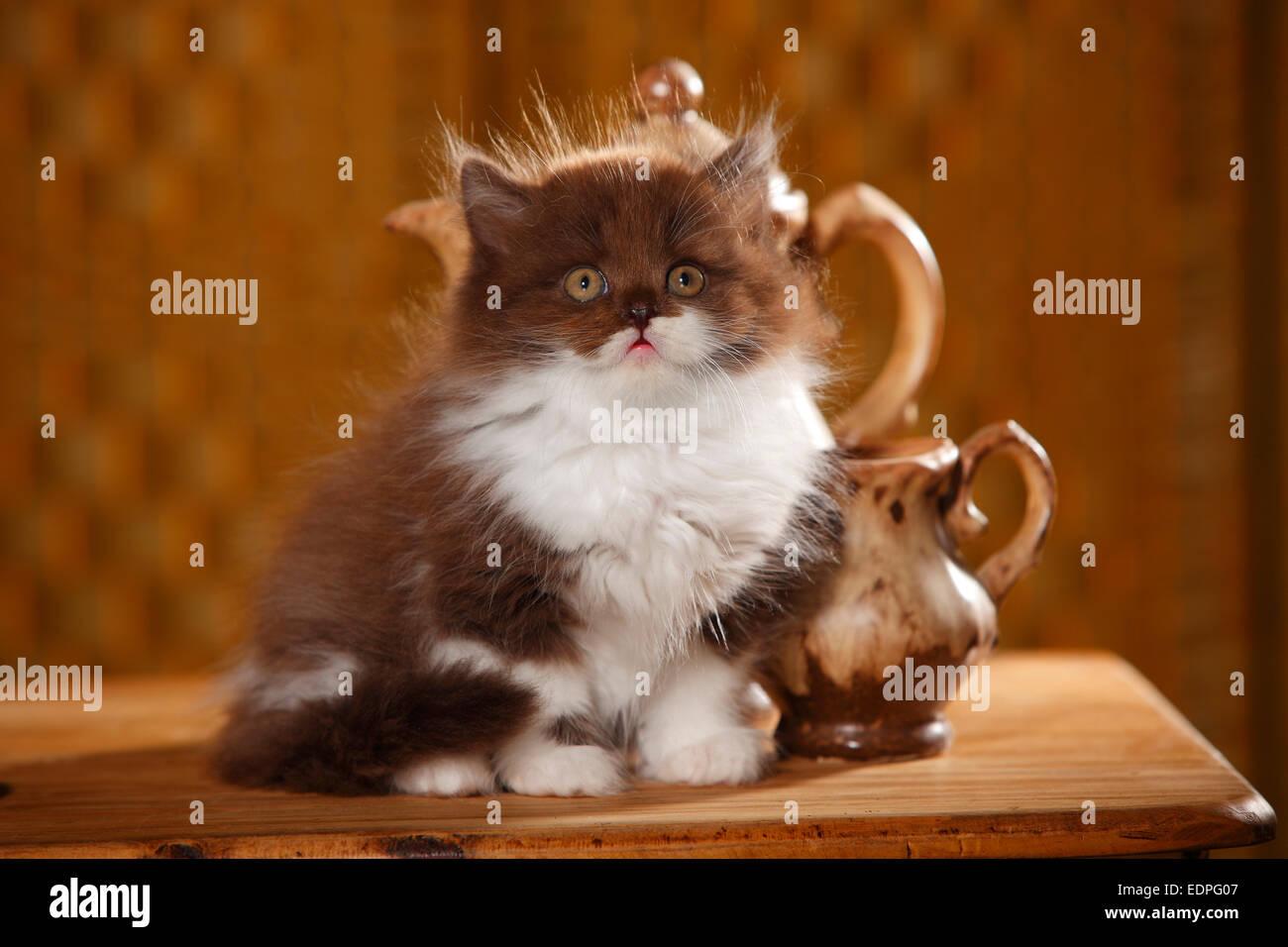 British Longhair Cat, kitten, 9 weeks, chocolate-white|Britisch ...