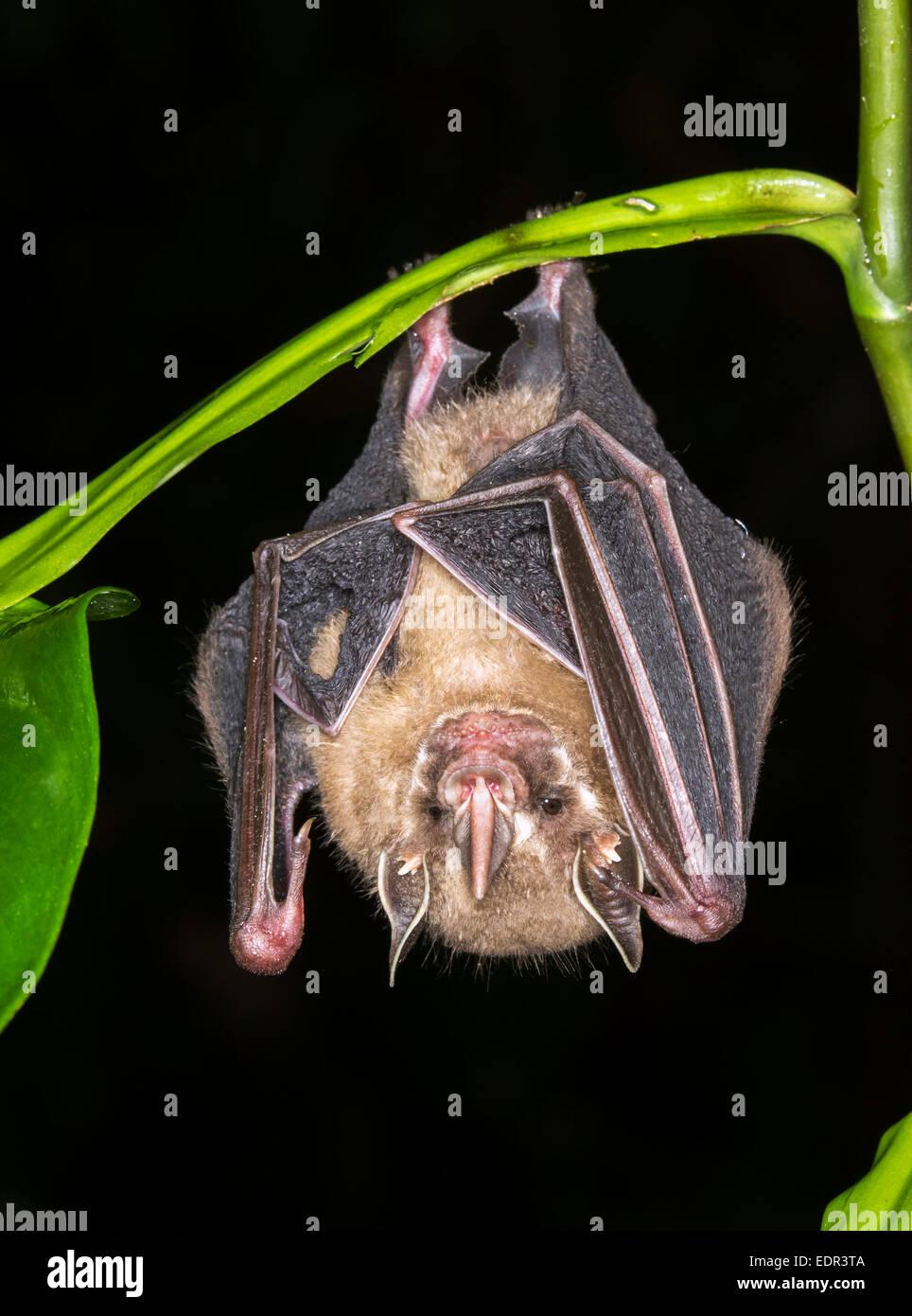 Tent-making bat (Uroderma bilobatum) hanging in a tree Puerto Viejo Limon Costa Rica & Tent-making bat (Uroderma bilobatum) hanging in a tree Puerto ...