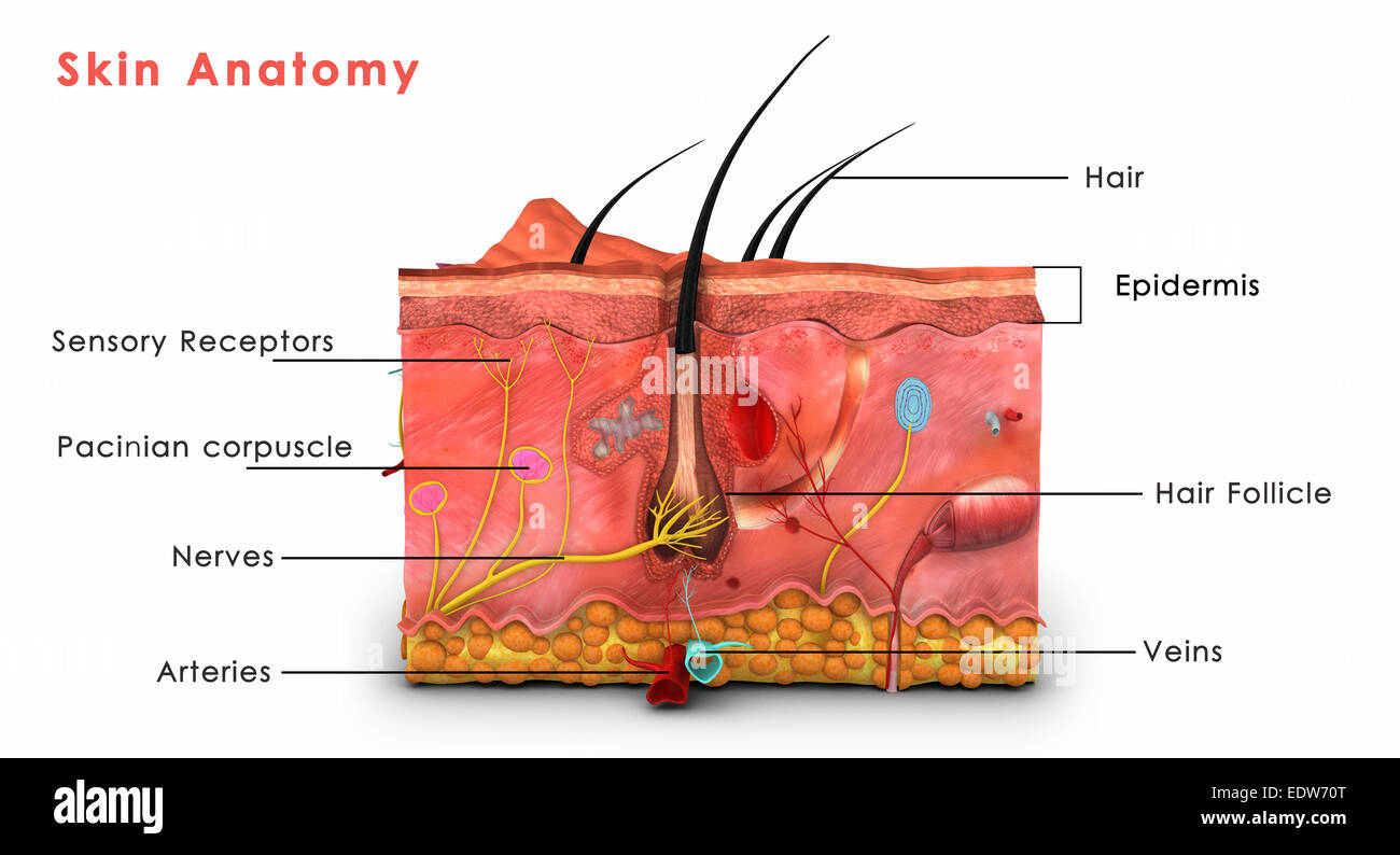 Skin Anatomy Labeled Stock Photo  Royalty Free Image  77386312