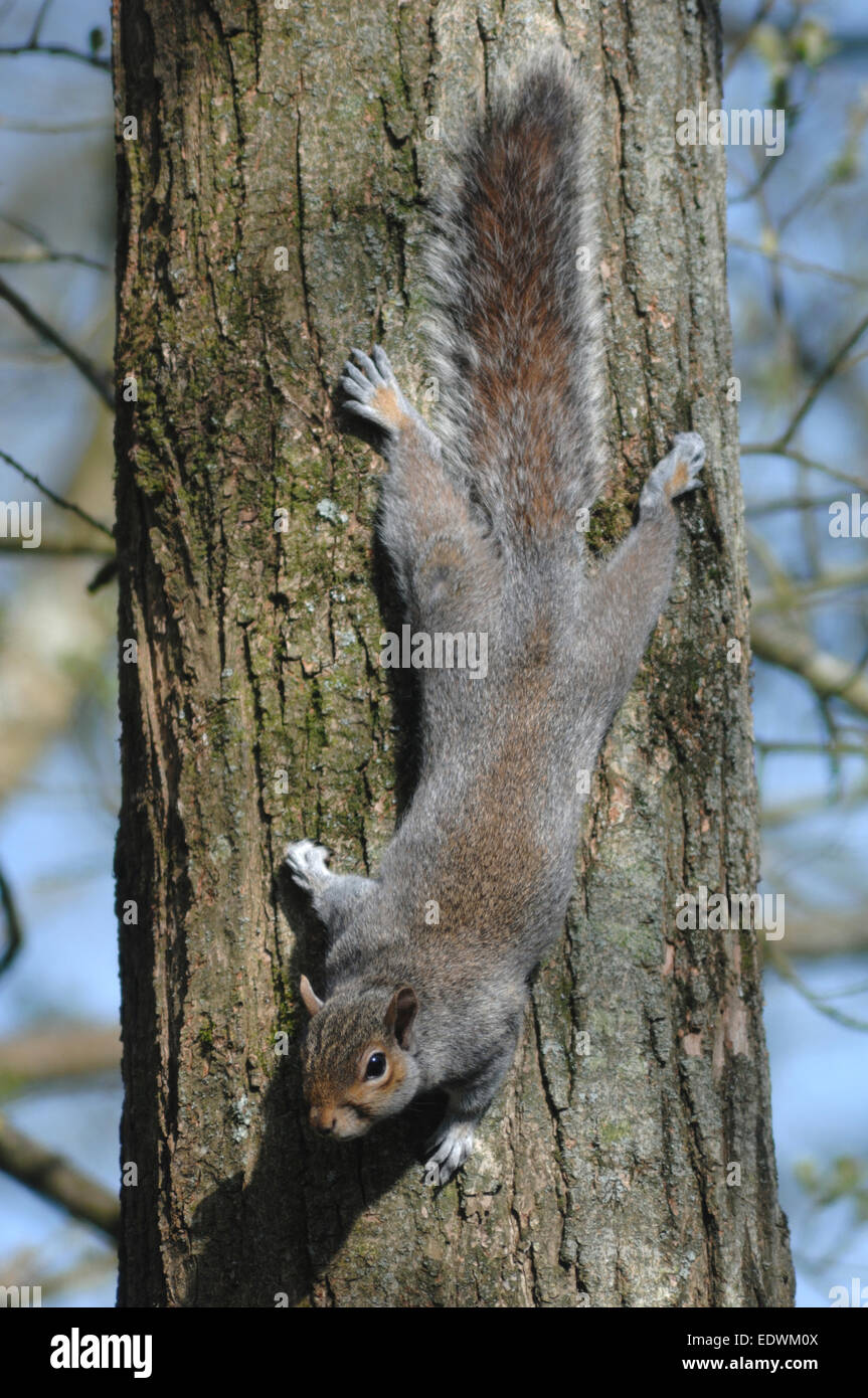 A Grey Squirrel Coming Down A Tree Trunk Head First Uk