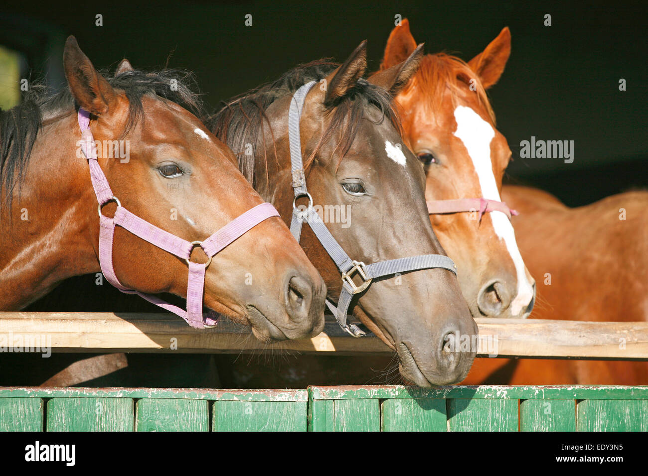 Beautiful Thoroughbred Horses At The Barn Door Purebred Chestnut