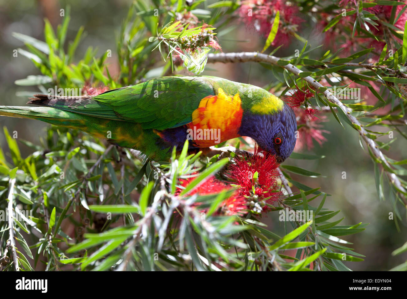 Bottle brush woodland animals - Eating Lorikeet Bird In A Bottle Brush Shrub Australia Stock Image