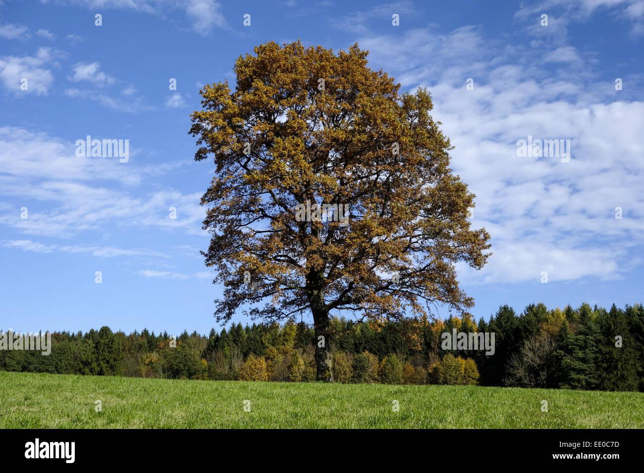 einzelner baum eiche im herbst single oak tree in autumn. Black Bedroom Furniture Sets. Home Design Ideas