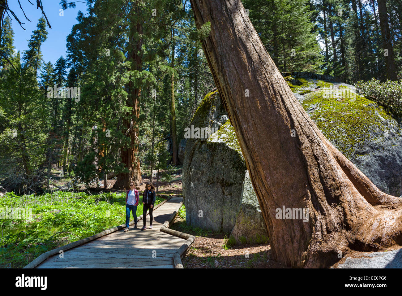 Populaire Walkers on Big Trees Trail in Sequoia National Park, Sierra Nevada  PS32