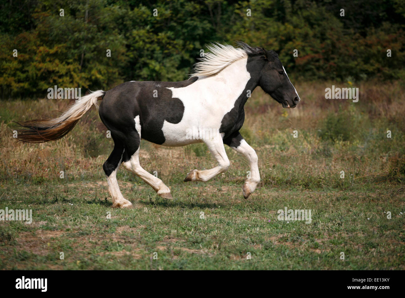 Beautiful black and white skewbald young horse running in ...
