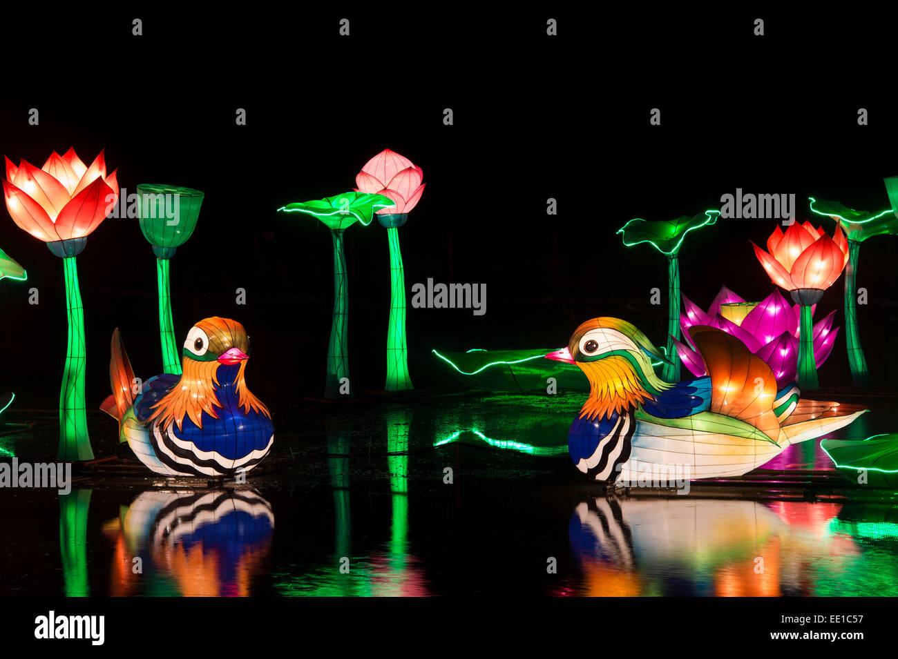 Chinese mandarin duck stock photos chinese mandarin duck stock mandarin ducks and lotus flower chinese lanterns floating on the pond at longleat warminster dhlflorist Choice Image