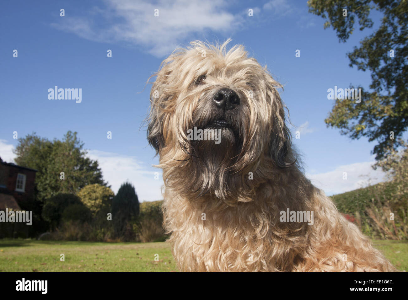 adult soft coated wheaten terrier