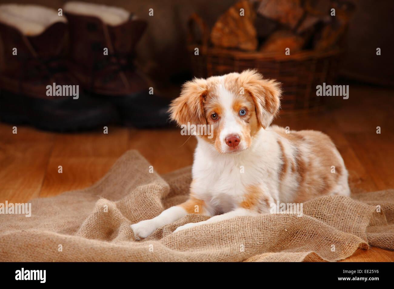 miniature australian shepherd puppy red merle 13 weeks stock photo royalty free image. Black Bedroom Furniture Sets. Home Design Ideas