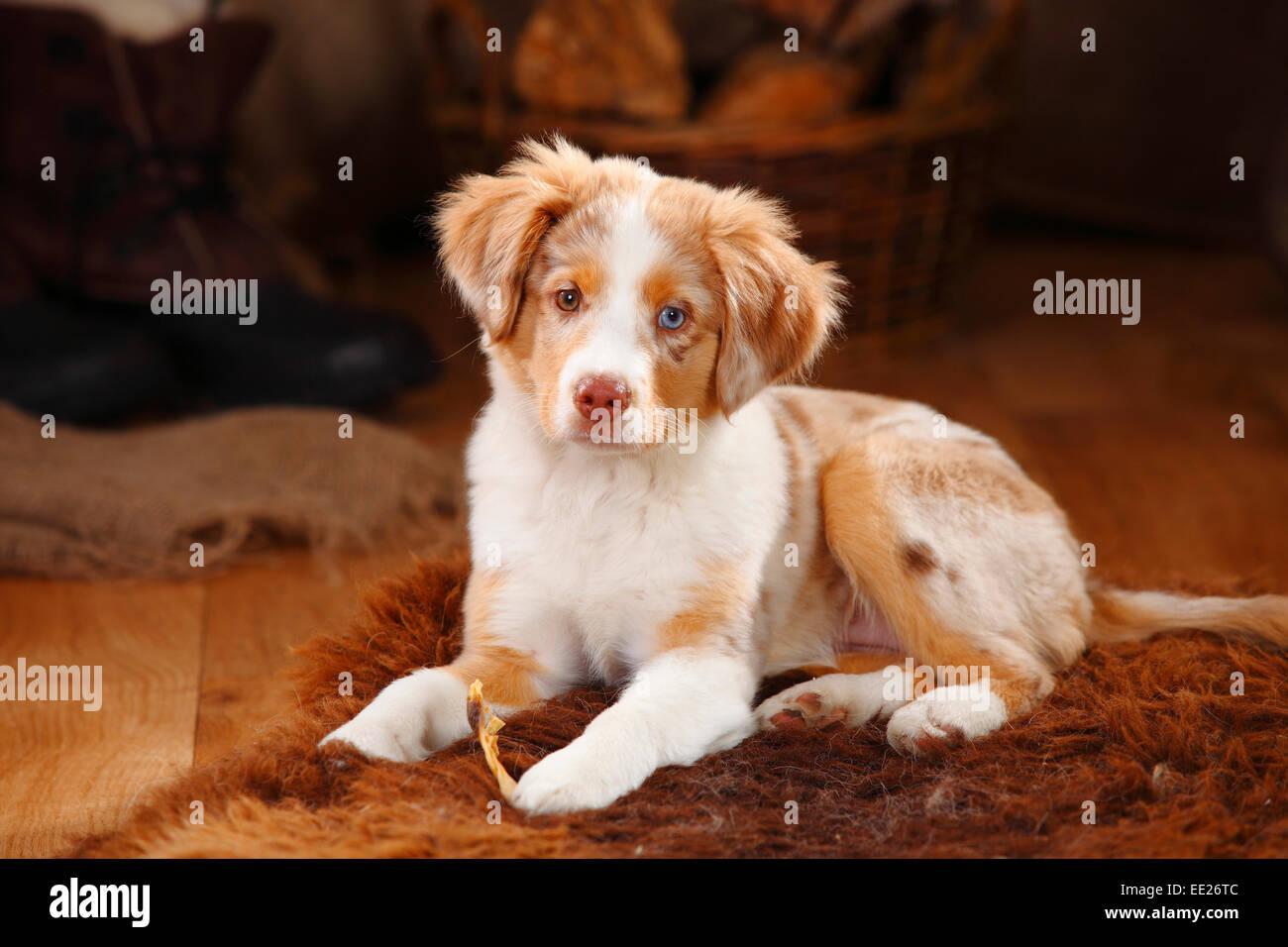 Australian shepherd red merle puppy