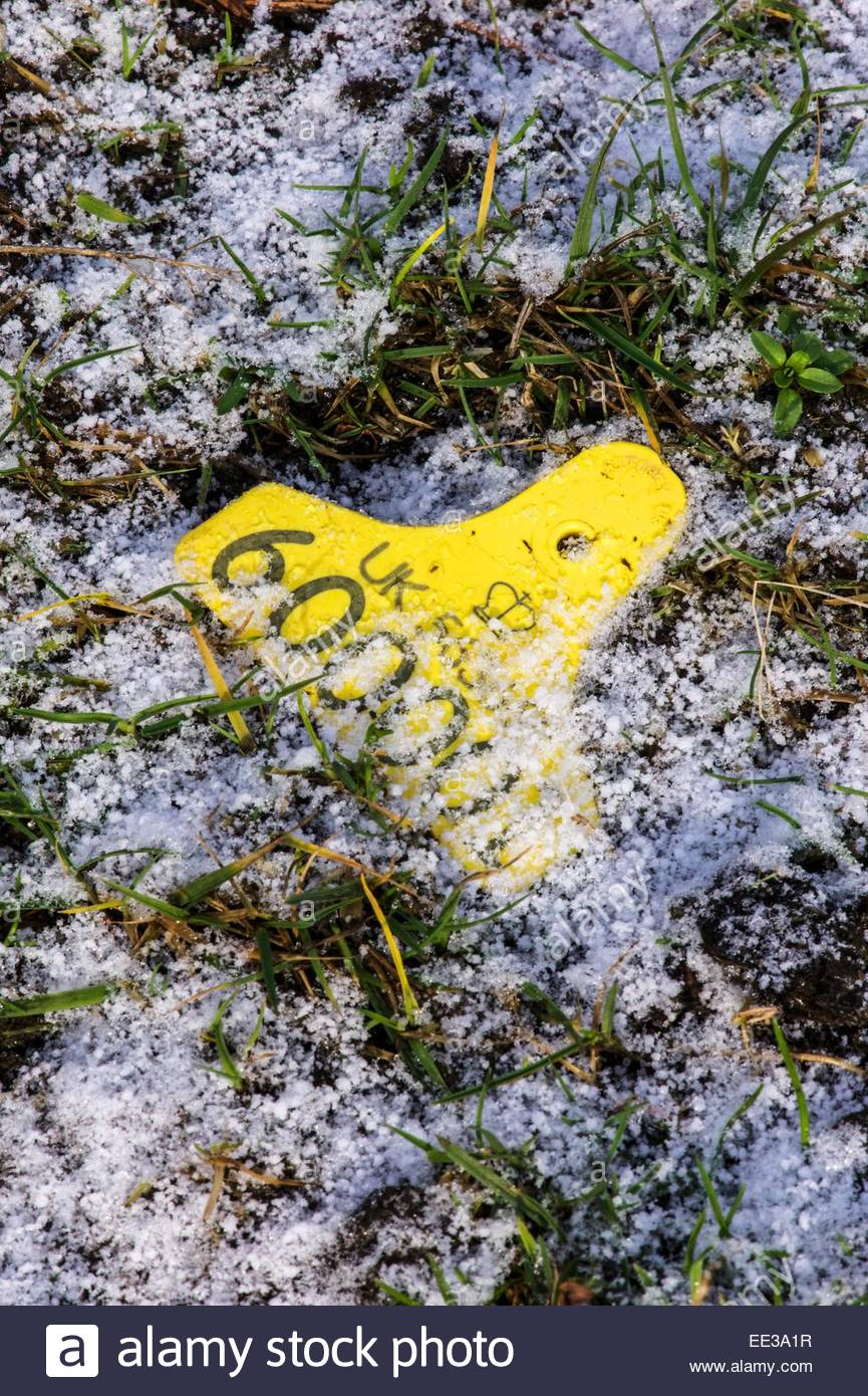 Cocklawfoot yetholm scottish borders uk 13th january 2015 a cocklawfoot yetholm scottish borders uk 13th january 2015 a lost ear id tag from a sheep rests in grass which has been dusted in snow sciox Choice Image