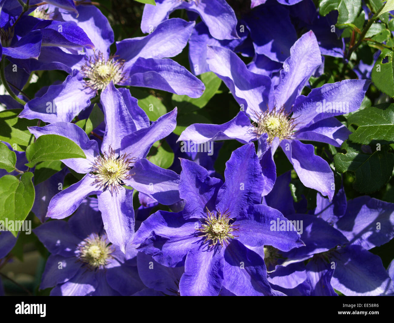 kletterpflanze clematis blueten violett natur vegetation stock photo royalty free image. Black Bedroom Furniture Sets. Home Design Ideas