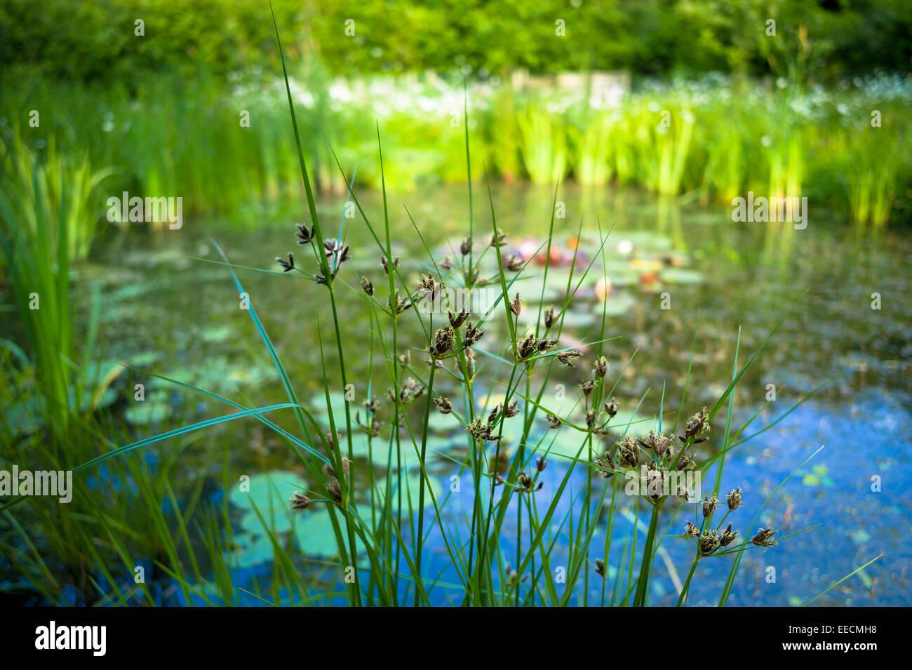 Garden wildlife pond with marginal plants and ornamental for Garden pond plants uk