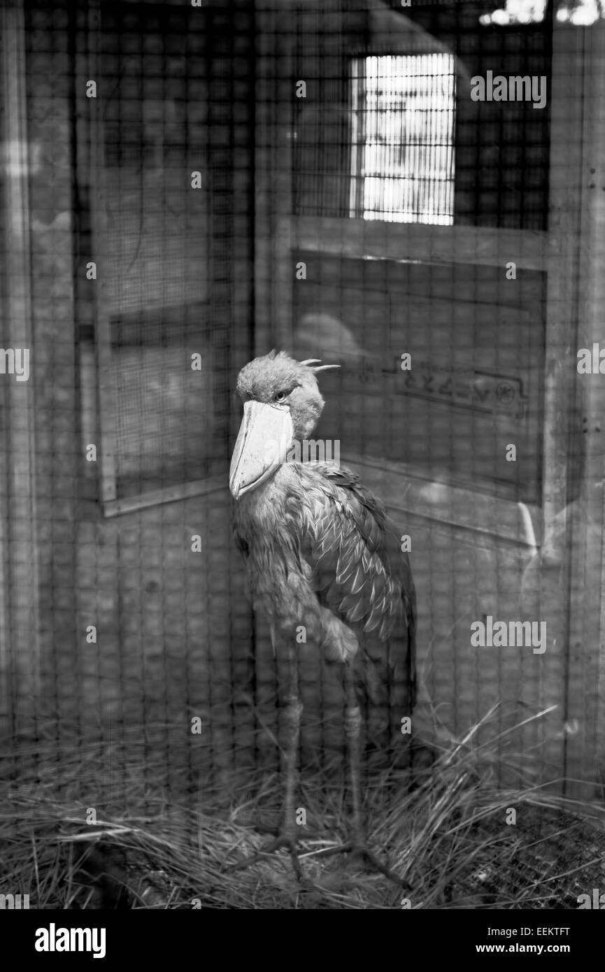 a-shoebill-in-a-cage-in-ueno-zoo-tokyo-j